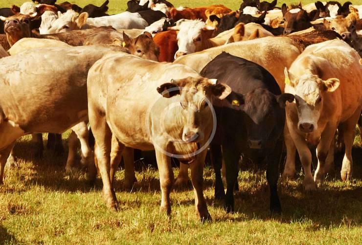 Fluffy Cows: the Internet Sensation